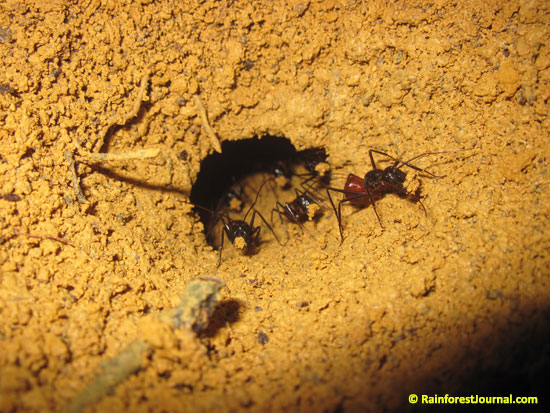 camponotus gigas giant ants