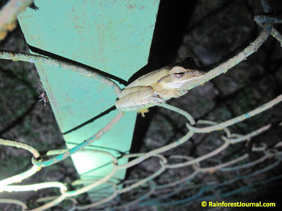 four lined tree frog
